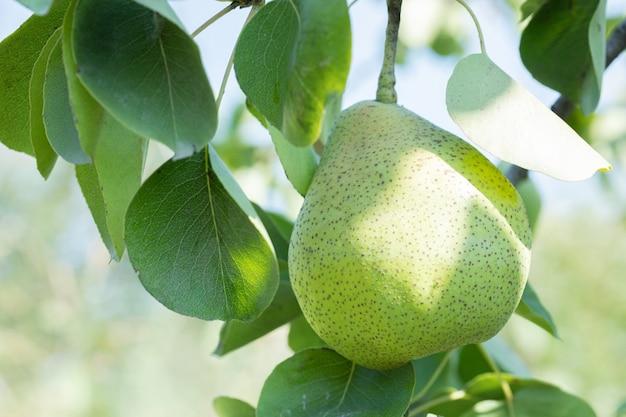 Groene peer aan de rand van een groene tak