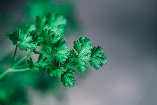 Groene peterselie blad achtergrond.