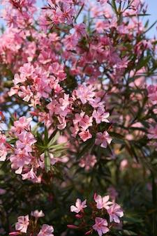 Groene phloxstruik met grote roze bloemen