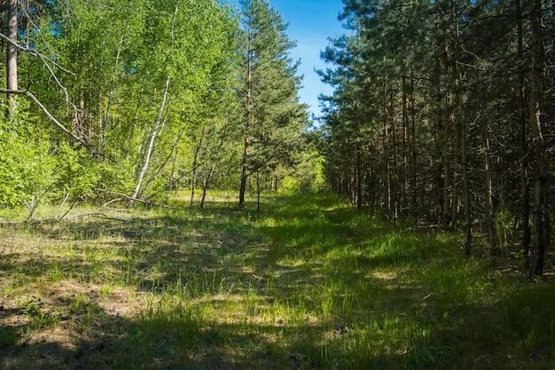 Groene pijnbomen in de zomer bos natuurlijke achtergrond.