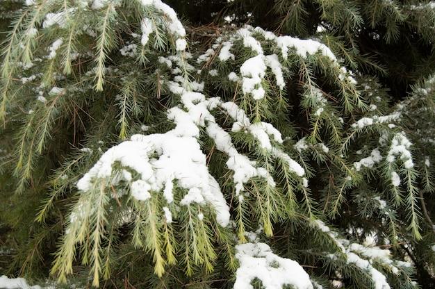 Groene pijnboombladeren met sneeuw erop
