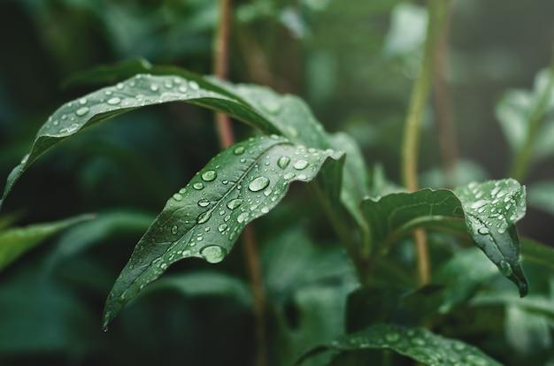 Groene pioenbladeren met regendruppels