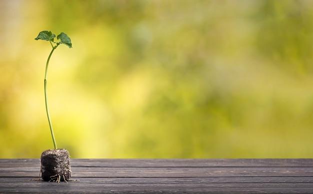 Groene plant op houten tafel met onscherpe groene weelderige gebladerte op de achtergrond. bean spruit. eco concept.