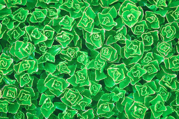 Groene plant textuur achtergrond van sedum spurium