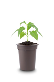 Groene potplant geïsoleerd
