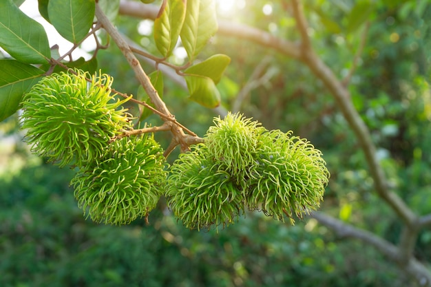 Groene rambutan die nog niet rijp is aan boom.