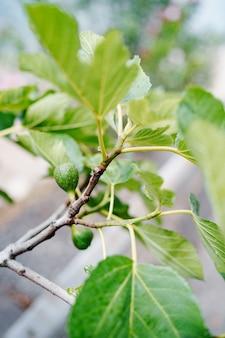 Groene rauwe vijgen op de tak van een vijgenboom met ochtendzonlicht