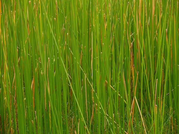 Groene rietvelden