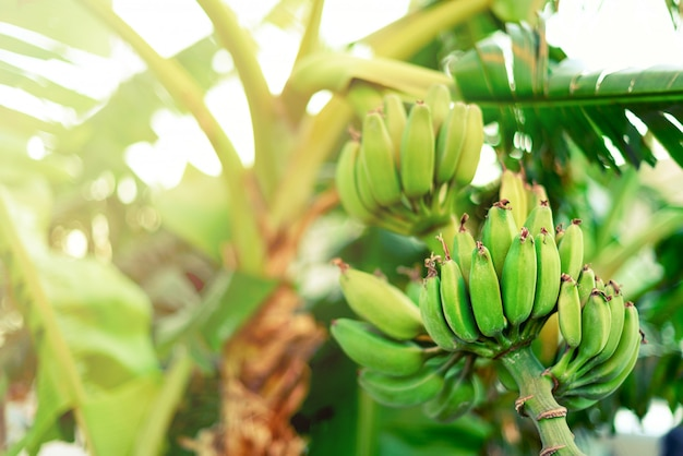 Groene rijpe bananen op palmboom. zomer en reizen concept. bananenvruchten tros met sun leaks effect.