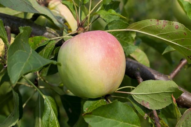 Groene rijpende appel die aan een boom in het zomerseizoen hangt