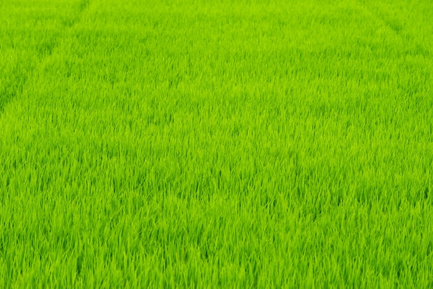 Groene rijst boerderij achtergrond in thailand