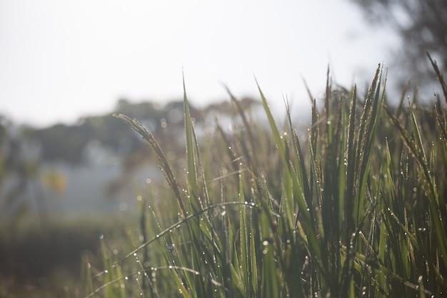 Groene rijst en zonlicht in de ochtend