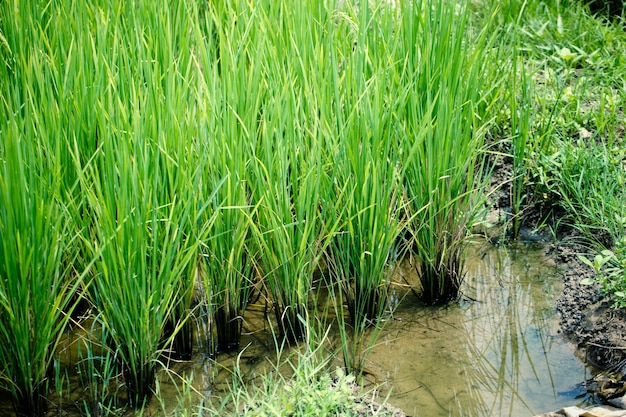 Groene rijst van thaise jasmijn rijst plant aziatische landbouw industrie achtergrond.