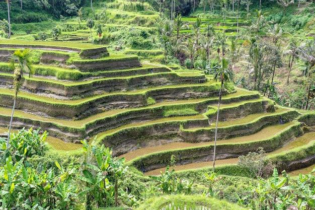 Groene rijstterrassen in rijstvelden