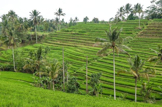 Groene rijstvelden jatiluwih op het eiland bali zijn unesco-erfgoed, het is een van de aanbevolen plaatsen om te bezoeken op bali met het spectaculaire uitzicht, reizen in azië