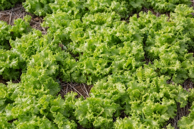 Groene salade die klaar is om in de tuin te worden geoogst.