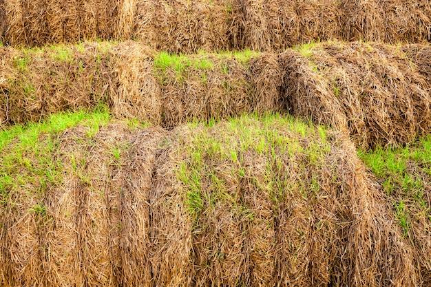 Groene scheuten, spruiten, van tarwe, ontsproten op de stapels stro die na de oogst waren achtergebleven