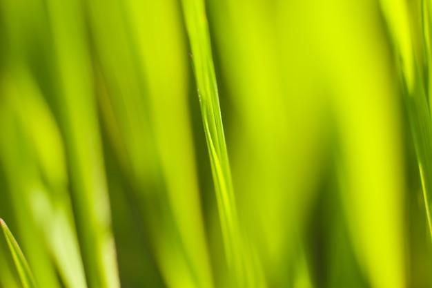 Groene scheuten van lentegras in het warme zonnestraallicht van de achtergrondverlichting, macrolensschot. lente en zomer achtergrond.