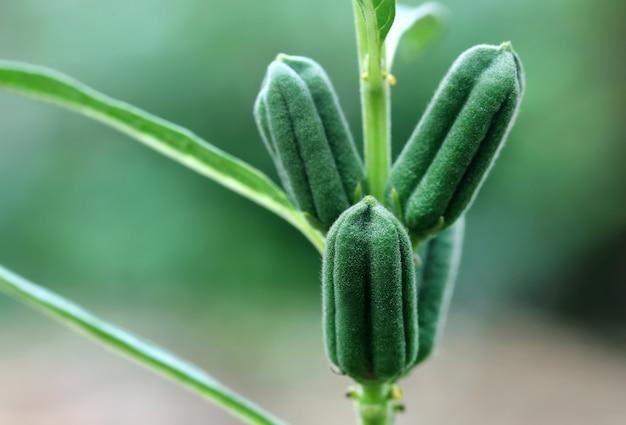 Groene sesam peulen in plant