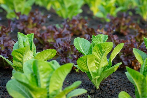 Groene sla in het plantaardige perceel