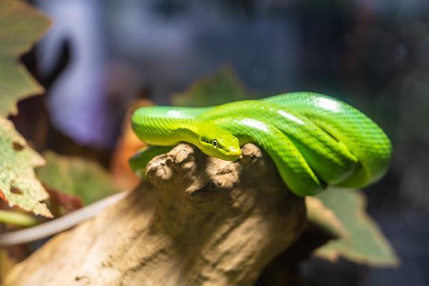 Groene slang op de tak