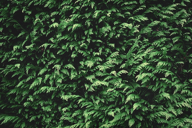 Groene spar achtergrondstructuur. natuur achtergrond behang