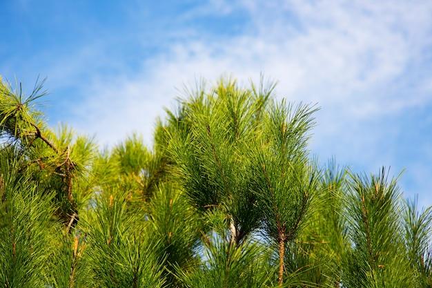 Groene sparren, pijnbomen op blauwe hemelachtergrond, uitzicht vanaf de onderkant. groenblijvende boom, lente