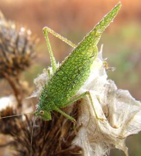 Groene sprinkhaan, veld