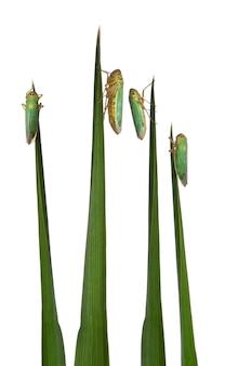 Groene sprinkhanen op een grassprietje - cicadella viridis