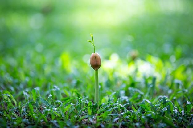 Groene spruit groeit uit zaad op de grond