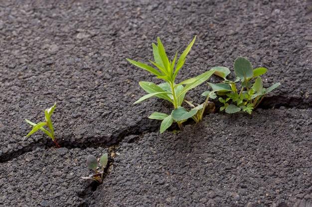 Groene spruit op grijs gebarsten asfalt