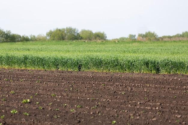 Groene spruiten en oren van tarwe op landbouwgrond, landbouwconcept