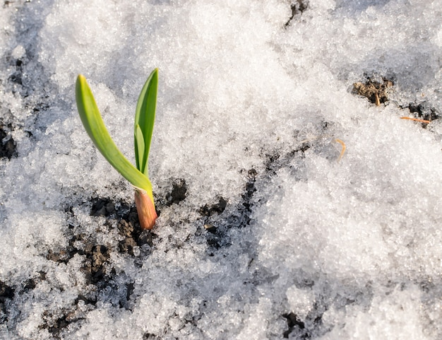 Groene spruiten van knoflook groeien door de sneeuw