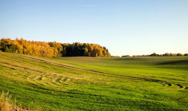 Groene spruiten van oren van rogge en tarwe, landschap op een landbouwgebied in het voorjaar, op de bodemsporen van transport