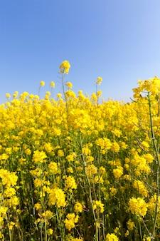 Groene stengels en gele verkrachtingsbloem in de lente op het landbouwgebied