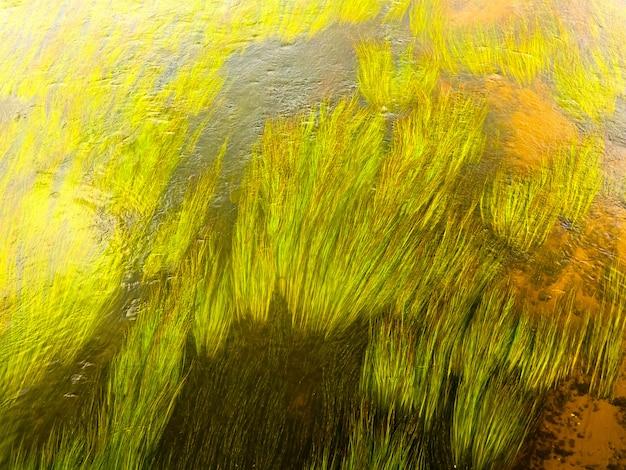 Groene stengels van algen in het heldere water van de rivier.