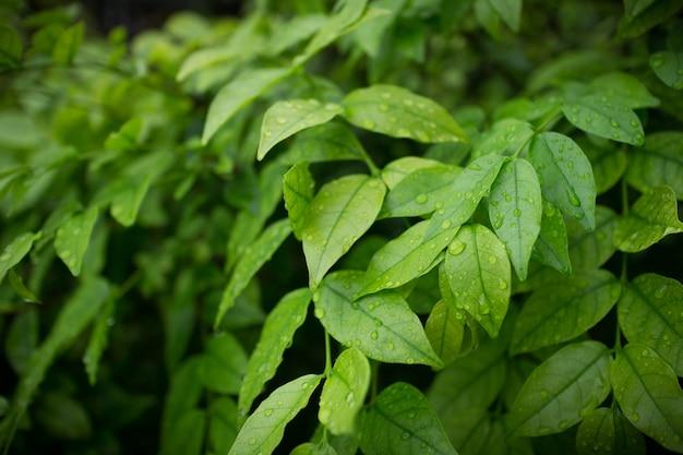 Groene struiken achtergrond. bladeren textuur achtergrond