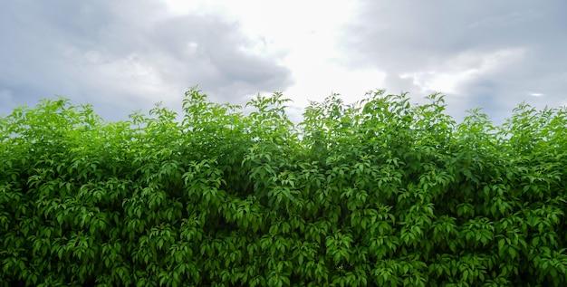 Groene struiken of buitenmuren van plantenhekken