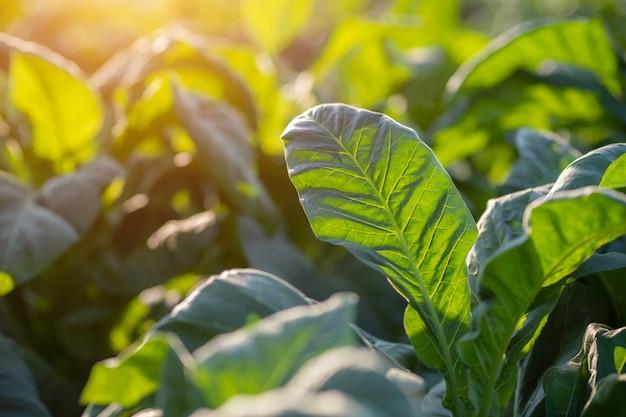 [groene tabaksbladeren] groene tabaksbladeren in een wazig tabaksveld
