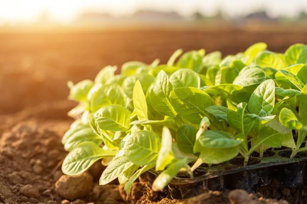 Groene tabaksbladeren in het veld