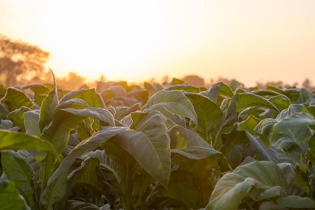 Groene tabaksplant in veld in nongkhai van thailand.