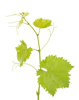 Groene tak van wijnstok geïsoleerd wit