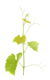 Groene tak van wijnstok geïsoleerde witte achtergrond. takje met bladeren van wijnstok.