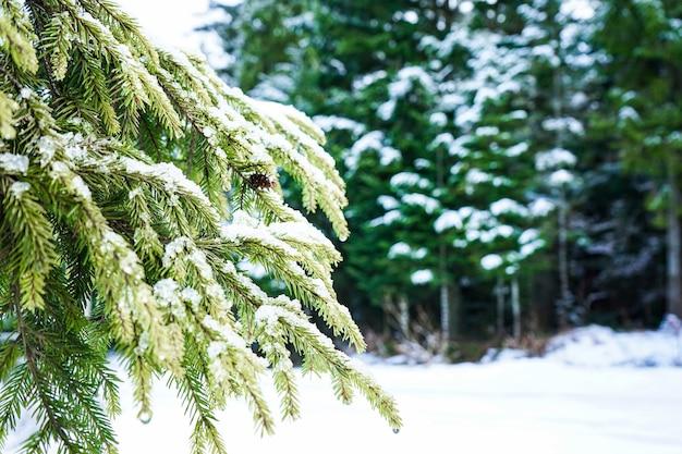 Groene takken van een kerstboom in de sneeuw