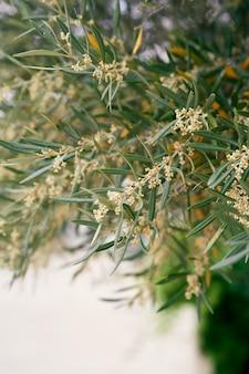 Groene takken van een olijfboom met bloemenclose-up