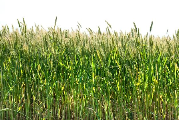 Groene tarwe geïsoleerd op wit