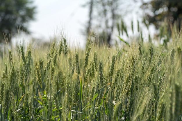 Groene tarwe op biologische boerderij veld
