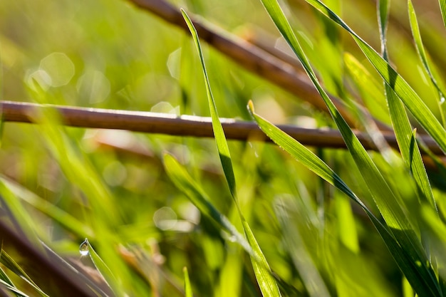 Groene tarwe spruiten op een landbouwgebied onder oude stoppels die niet is geoogst en geploegd tijdig, close-up, europa