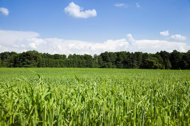 Groene tarwe Premium Foto