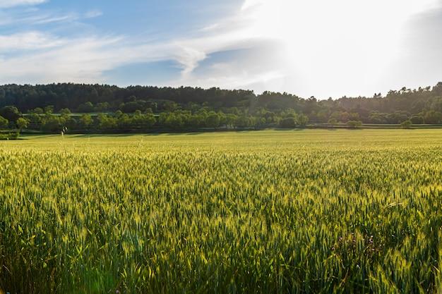 Groene tarweveld bij zonsondergang met blauwe lucht.